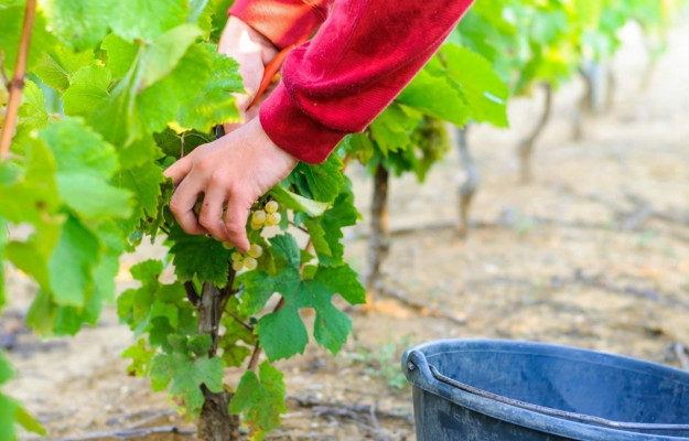 Children with disabilities in the vineyards and in the cellar to promote job placement