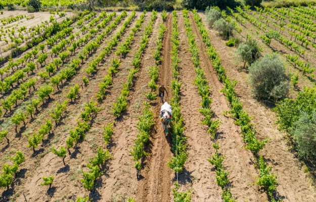 Vini Fantini focuses on Sardinia: the group, led by Valentino Sciotti, launches the Atzei project