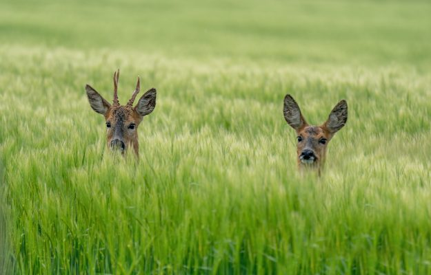 Among the vineyards and fields of Tuscany there is an alarm of roe deer, which devastate the crops and eat the grapes